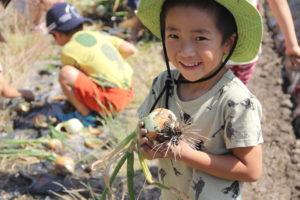 よしの保育園にて玉ねぎの収穫